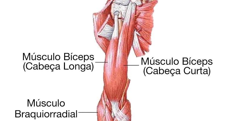 Anatomia bicepsu