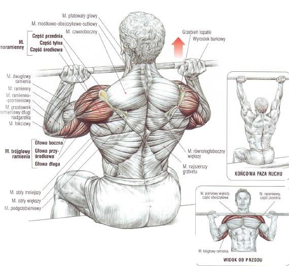 Anatomia barków