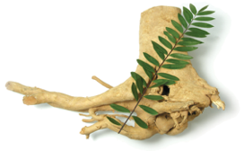 tongkat ali eurycoma longifolia long jack opinie i działanie